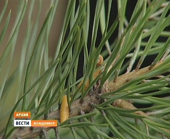 Во Владимирской области проведут авиаобработку лесов от пилильщика