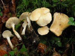 Испанские специалисты из Королевских ботанических садов Мадрида совместно со словенскими коллегами описали два новых вида грибов рода Hydnum (Гиднум)