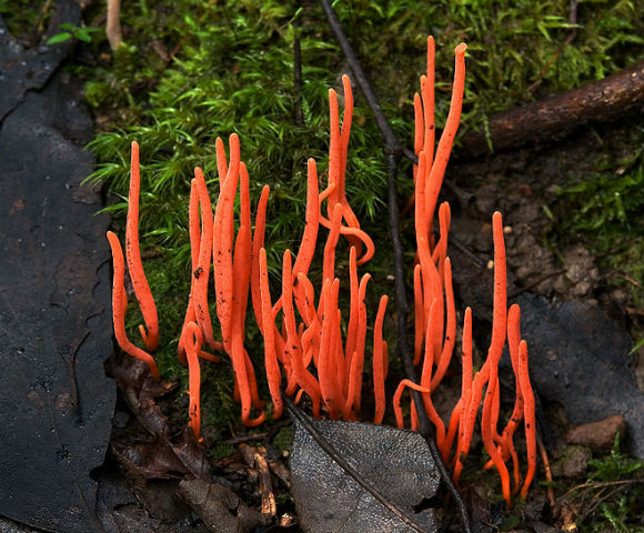 Коралловый гриб (Clavulinopsis corallinorosacea) - гриб называют так из-за сходства с морскими кораллами