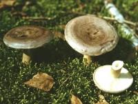 Условно-съедобные грибы