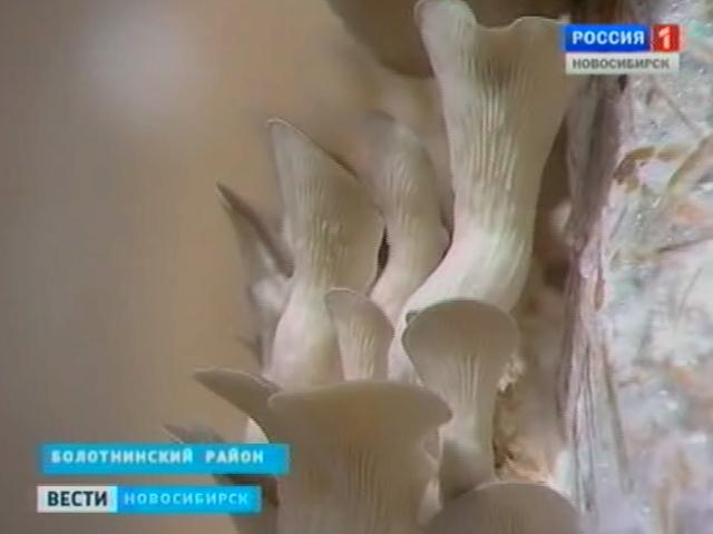 Энтузиаст из Новосибирской области выращивает грибы на продажу