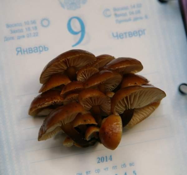 В Смоленске грибы выросли на Рождество