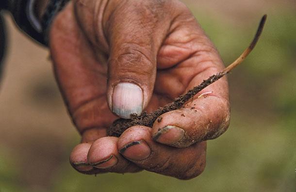 В Тибете местные жители собирают червяков, которые стоят дороже золота