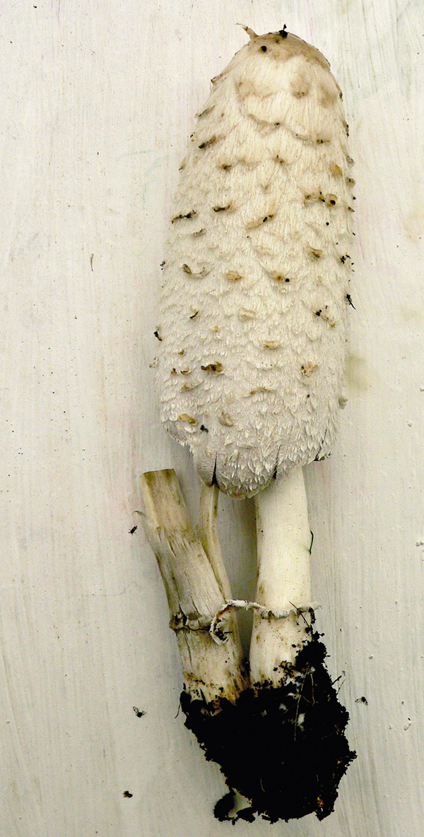 Шляпка навозника белого - гриба семейства шампиньоновых — длинный цилиндр от 6 до 15 см, немного раскрывается по мере роста