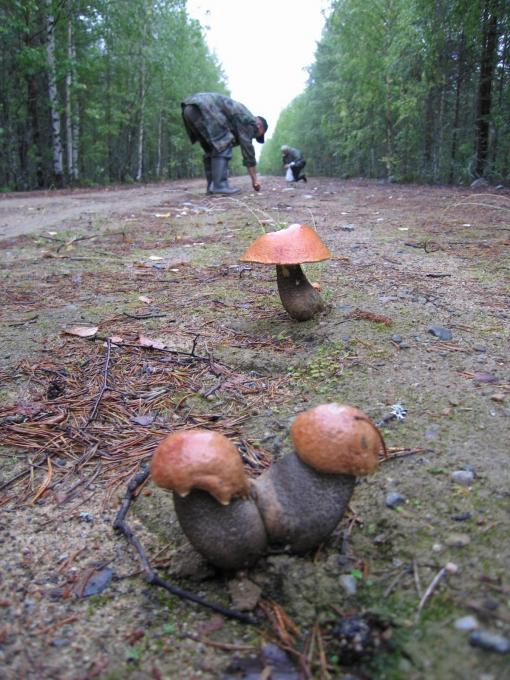 Неопытные грибники не всегда узнают съедобные грибы
