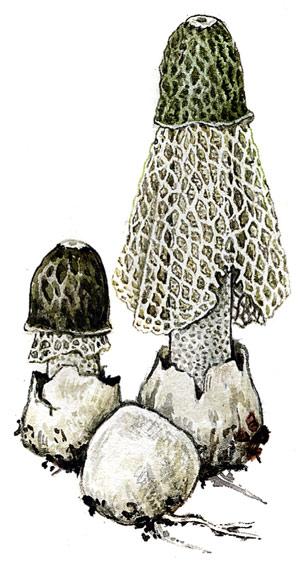 Сетконоска, или «дама с вуалью»