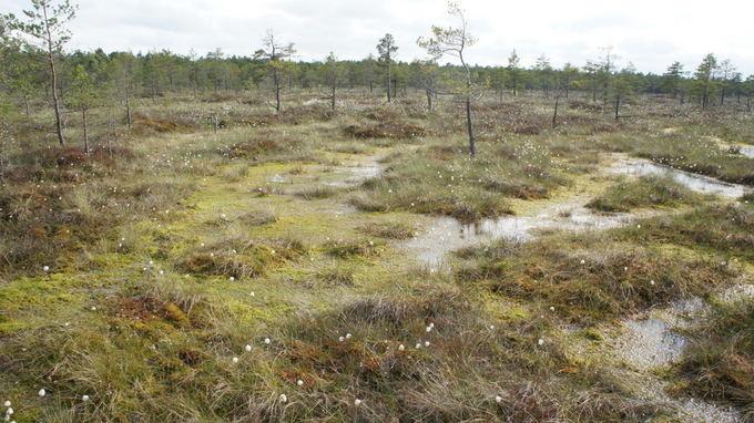 Одно из самых впечатляющих болот в Литве – Каманское – находится в северной части страны, в Акмянском районе, в государственном резервате под таким же названием.