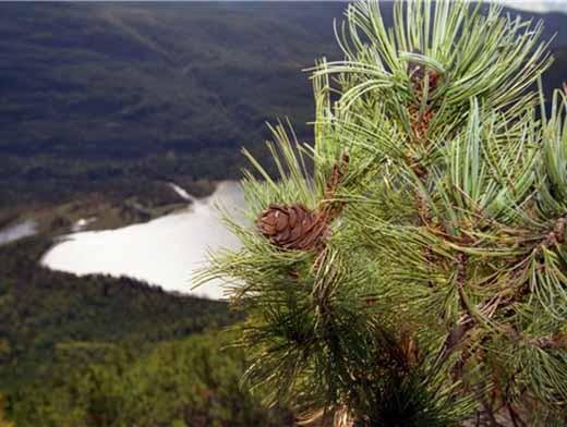 Сбор кедровых орехов в Кемеровской области откроют в конце августа