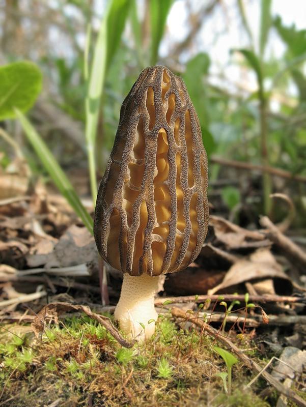 Первые грибы Омутнинска