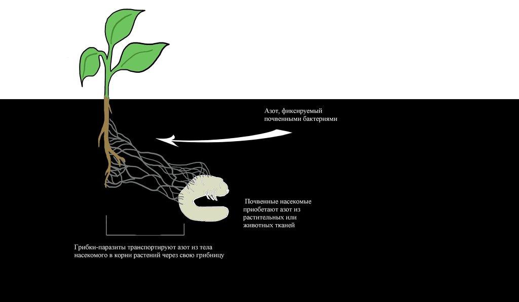 Гриб-паразит помогает растениям ловить и съедать насекомых
