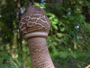 Сахарный диабет будут лечить грибами?