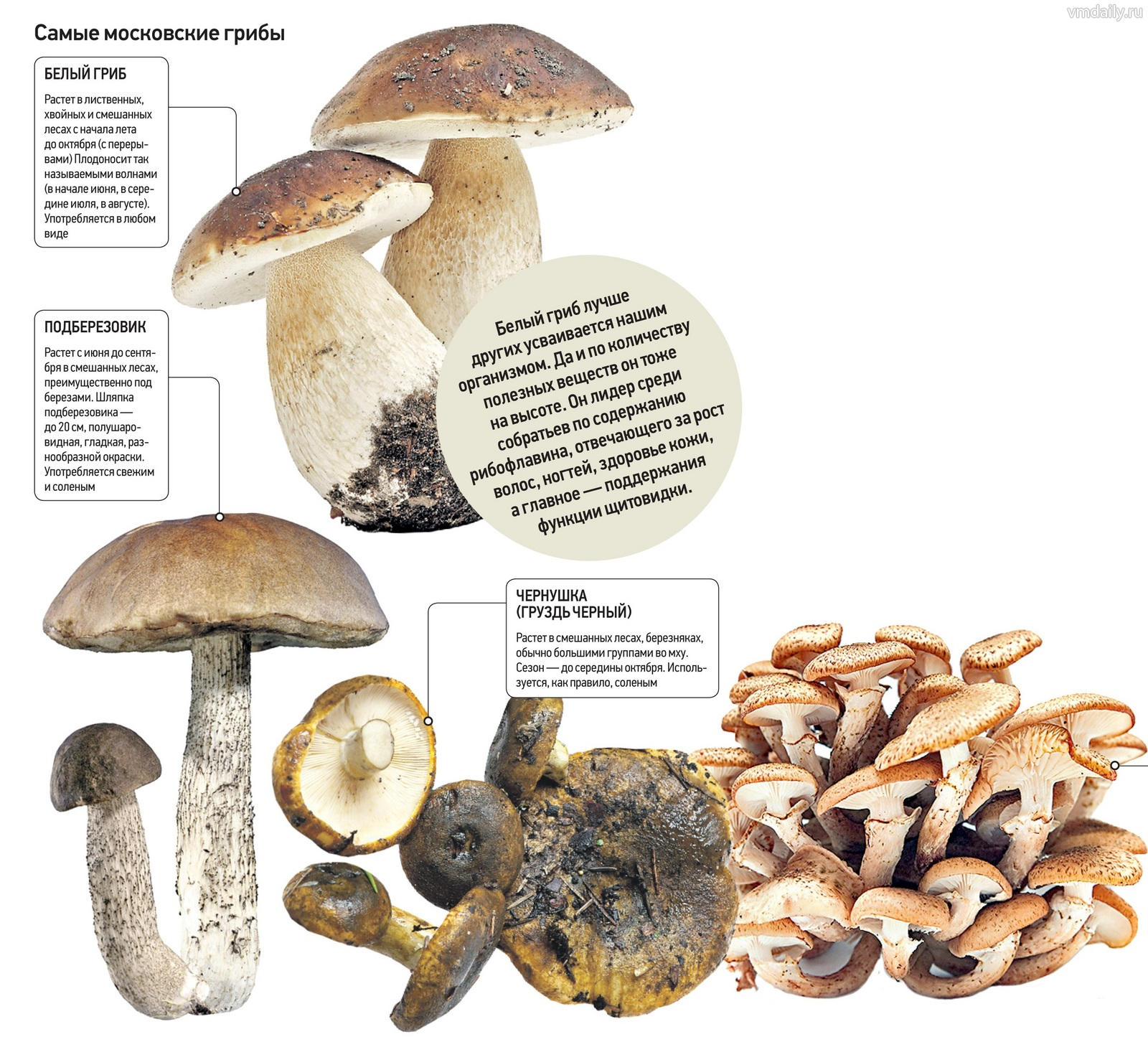 Самые желанные для всех грибы — белые. Чтобы набрести на хорошее место, где они растут, надо выбрать березнячок или мелколесье, где вместе с березами попадаются елки. Верный знак того, что вы встретите белые, — растущие поганки белого цвета и мухоморы: эти грибы любят похожие условия и часто растут вместе