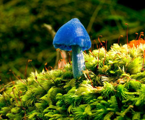 Лазурный гриб (Entoloma hochstetteri) - обитает в лесах Новой Зеландии и Индии, эти голубые грибы могут быть ядовитыми, но их токсичность малоизучена