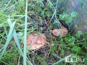 В лесах под Екатеринбургом появились первые грибы