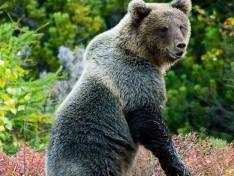Блогеры предупреждают, под Питером в лесах много медведей