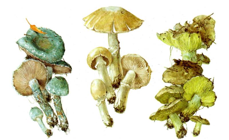 Строфария сине-зеленая, Колпак  кольчатый, Зеленушка