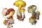 Полубелые грибы