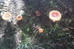 Грибы растут на городских газонах. Автор фото: Светлана Жбанова