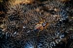 Церациомикса кустарничковая (Ceratiomyxa fruticulosa)