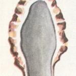 Сморчок обыкновенный