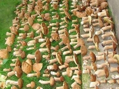 В латвийских лесах неурожай боровиков