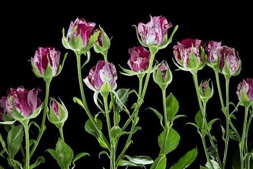 Парфюмерам бостонской компании Ginkgo Bioworks удалось получить смесь на основе микроскопических грибов — дрожжей, которая при помощи генной инженерии начала пахнуть настоящими розами.
