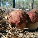 В Коми «пошли» первые грибы