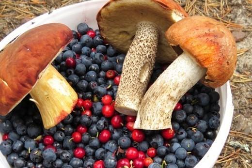 """Превышение допустимого уровня содержания цезия в белорусских грибах и ягодах зафиксировало Государственное учреждение по защите и мониторингу леса """"Беллесозащита""""."""