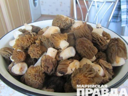 По отзывам первопроходцев, грибов в Марий Эл пока немного, но, побродив по заветным местам, набрать можно.