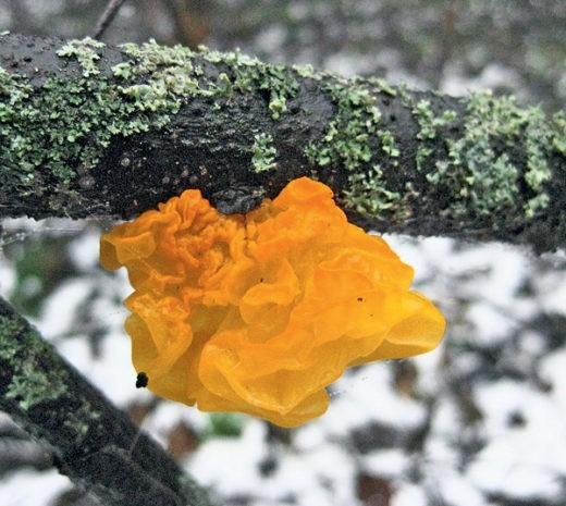 Поздней осенью, обычно после обильных дождей, и даже зимой грибникам встречается необычный гриб — дрожалка оранжевая
