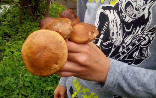 Благодаря дождливой погоде во многих районах Ленобласти появились подберезовики, подосиновики и лисички, но встречаются и белые грибы.