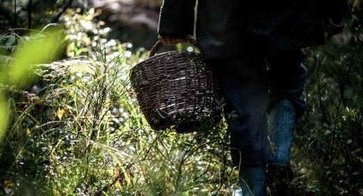 Урожай грибов и ягод в белорусских лесах в текущем году обещает быть средним, а при отсутствии дождей – низким, сообщили Sputnik в пятницу в министерстве природных ресурсов и охраны окружающей среды Беларуси.