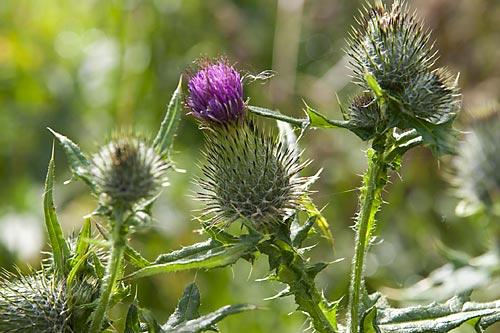 В туристской поездке за границу я неожиданно узнала, что символом Шотландии является скромный лохматенький цветок, напоминающий цветы нашего татарника