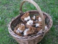 В Подмосковье пик весеннего грибного сезона