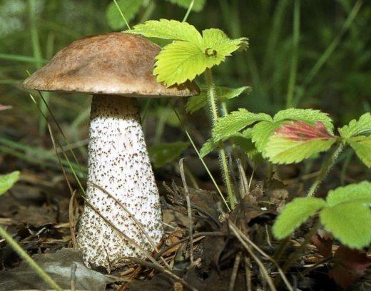 Мнение экспертов: грибов в этом году в Бобруйских лесах будет мало