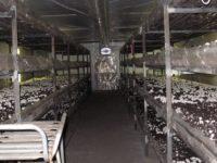 Грибы шиитаке начнут выращивать на Ставрополье