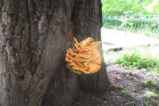 В Москве на дубе во дворе дома № 9 по 1-му Монетчиковскому переулку вырос шикарный условно-съедобный гриб: трутовик серно-желтый (Laetiporus sulphureus).