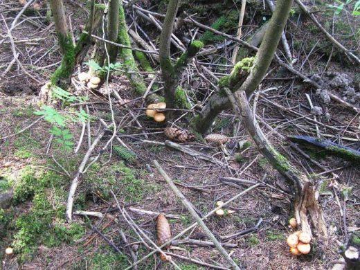 Летних опять стало меньше и встречаются они только в сырых местах на почве у оснований сухих деревьях и на их корнях.