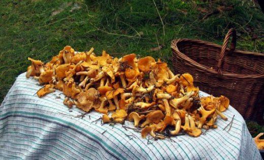 В Воронежской области стартовал сезон тихой охоты, здесь в начале осени можно запастись почти всеми видами грибов: маслятами, белыми, подосиновиками и т.д.