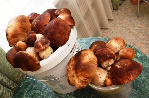 Специалисты объяснили небывалый урожай грибов в Воронежской области. Фото: Александр ЗИНЧЕНКО