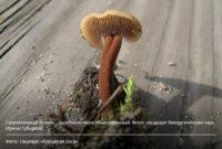 На Куршской косе выросли грибы-ежики