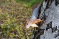 Эксперт: белкам и соболям нечего есть из-за плохого урожая в лесах Томской области