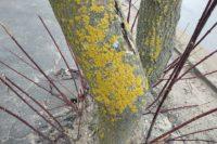Золотянка, которая захватывает деревья в Твери, сигнализирует о том, что воздух чистый