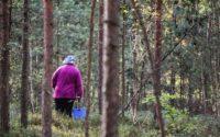 Грибники собирают первые грибы, но немногие знают об опасности