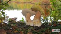Тюменцы собирают в лесах первые грибы