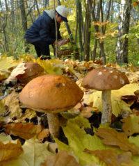 Москвичи запасаются небывалым лесным урожаем