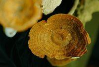 Предложен необычный способ использования африканского гриба в лечении рака