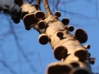Доказано! Деревообитающие грибы являются возобновляемыми источниками энергии