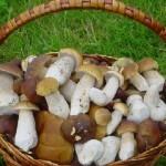 Белые начинают и… Особенности грибной охоты