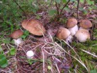 Белые грибы помогают бороться с лишним весом